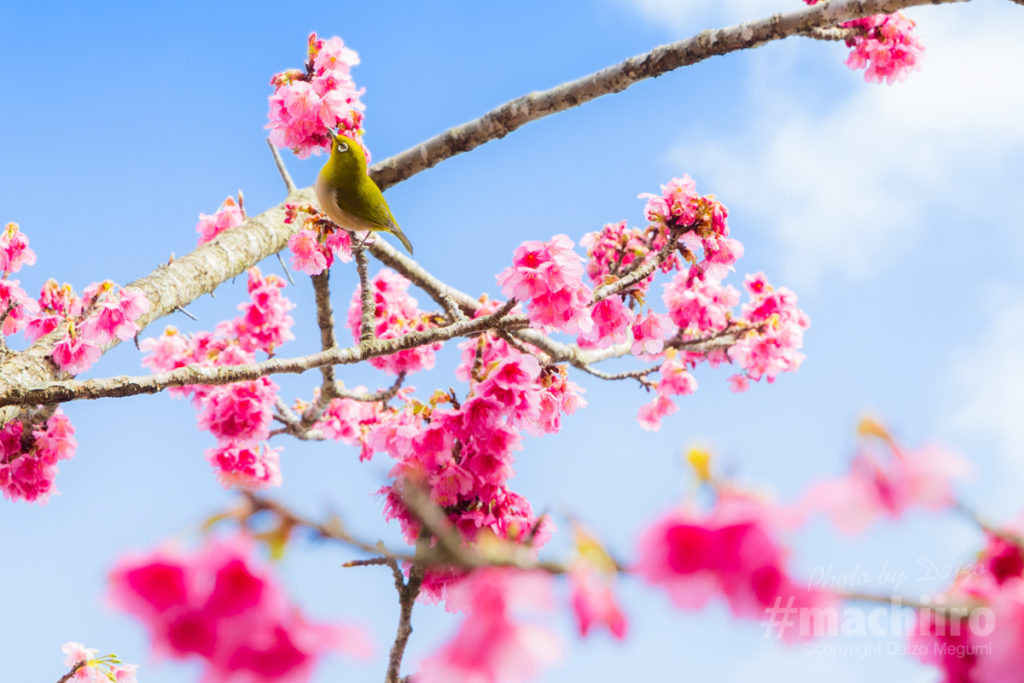 桜とメジロ 高千穗神社