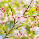 高千穗神社に咲く桜の写真