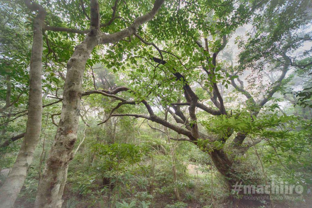 マチイロ撮影 樹齢200年を余る椎の木の写真