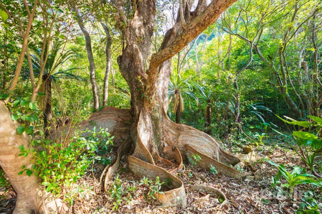 奄美大島最大級のサキシマスオウノキの写真