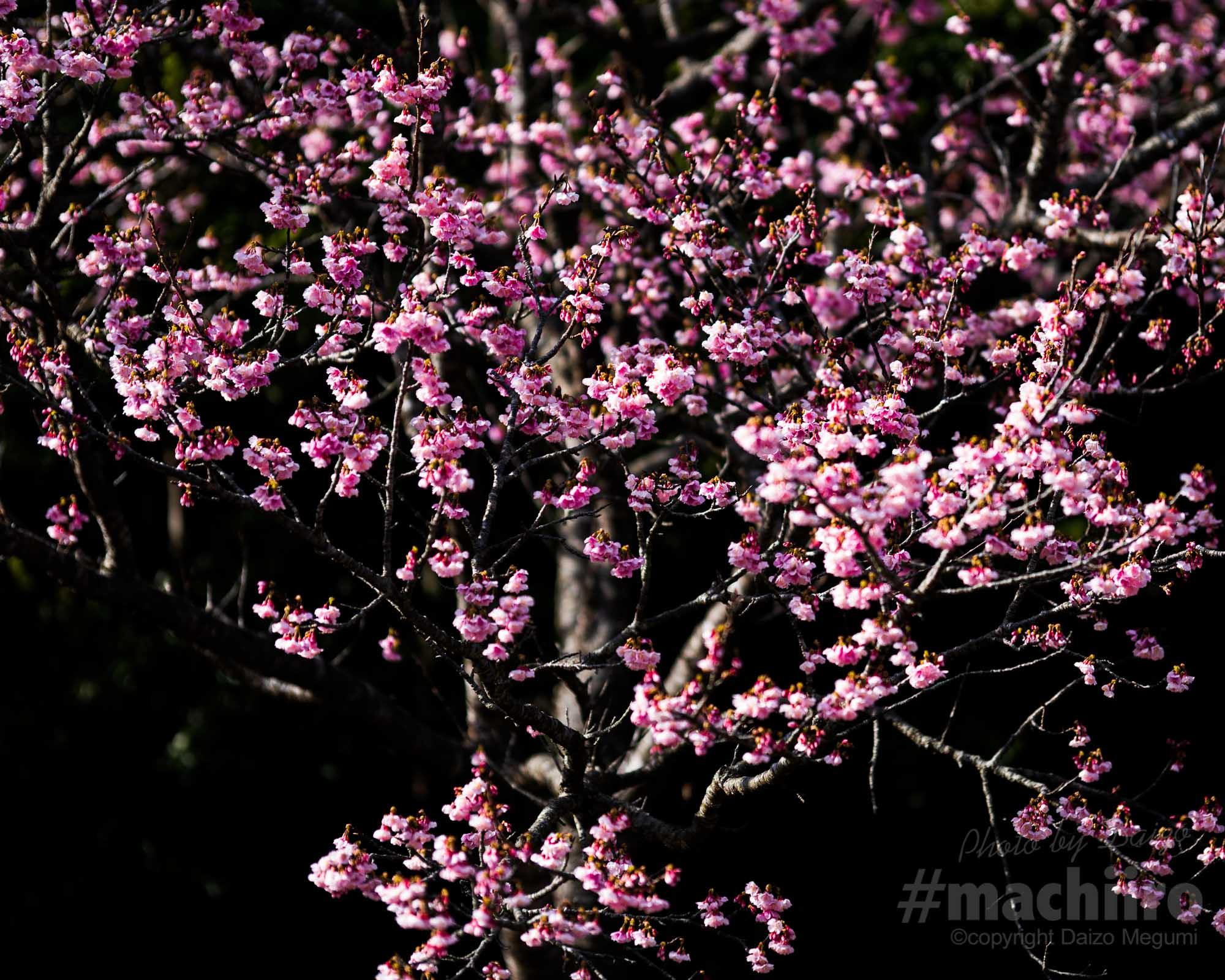 桜2021 Machiiro 記事写真 2