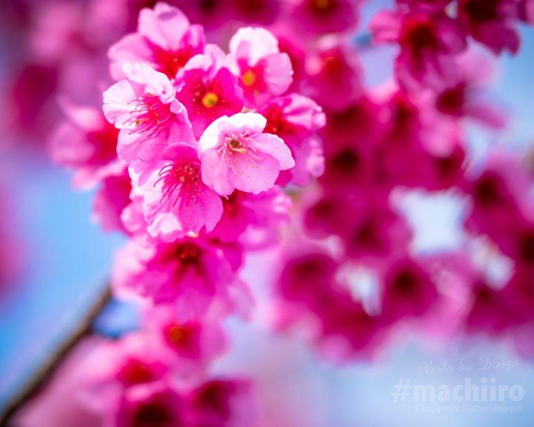 桜2021 Machiiro 記事写真 4