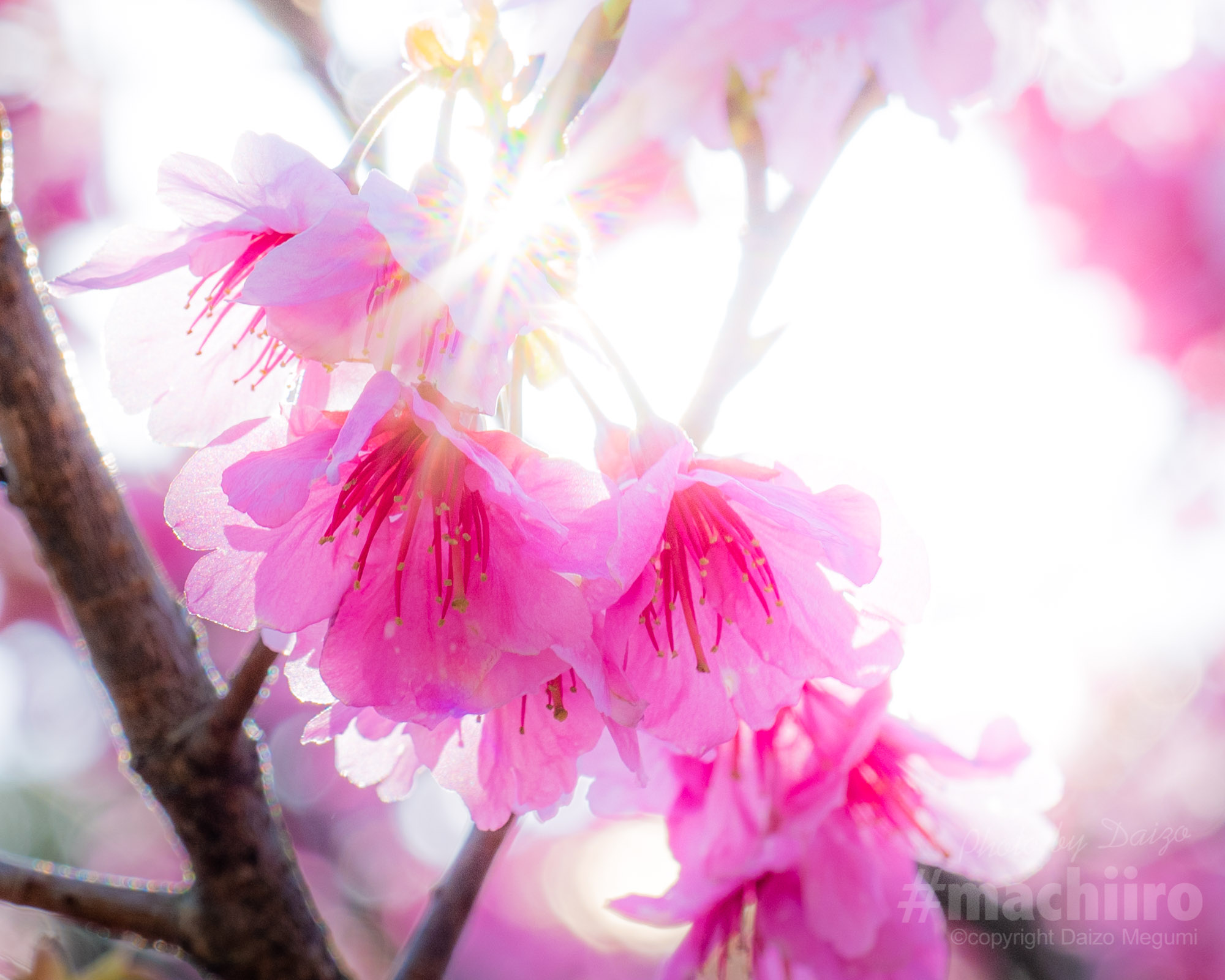 桜2021 Machiiro 記事写真 5